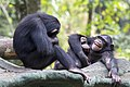 Canda Simpanse.jpg
