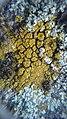 Candelariella coralliza 43093607.jpg