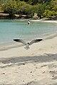 Caneel Bay Seagulls By Caneel Beach 08.jpg