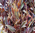 Canna lily leaves.jpg