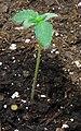 Cannabis seedling - seven days.jpg