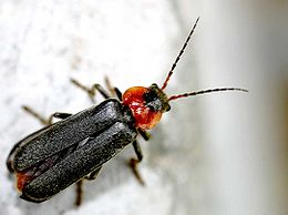 Cantharis fusca01.jpg