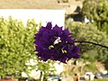 Cap Corse - Nonza- deep purple - panoramio.jpg