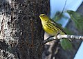 Cape May Warbler (37443182950).jpg