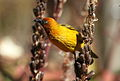 Cape Weaver, Ploceus capensis at Walter Sisulu National Botanical Garden - male (9648343540).jpg