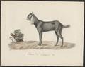 Capra aegagrus - 1700-1880 - Print - Iconographia Zoologica - Special Collections University of Amsterdam - UBA01 IZ21300271.tif