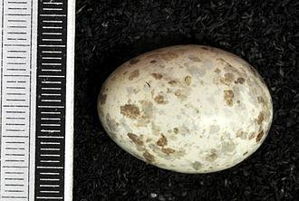 European nightjar - Egg, Collection Museum Wiesbaden