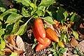 Capsicum annuum Tangerine Dream 2zz.jpg