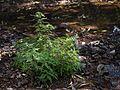 Cardanthera pinnatifida (8283176169).jpg