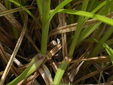 Carex spicata purple ligule.jpg
