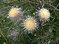 Carline Thistle Heads - geograph.org.uk - 810150.jpg
