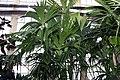 Carludovica palmata 8zz.jpg
