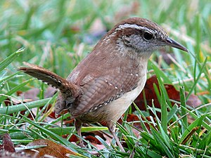 A small, squat rufous brown bird stands in the grass, looking right and holding its short tail up.