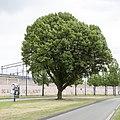 Carpinus betulus 'Fastigiata' Eindhoven 21 MG 3470.jpg