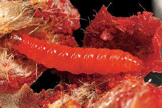 <i>Carposina</i> Genus of moths