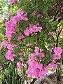 Caryophyllales - Bougainvillea glabra - 14.jpg