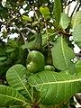 Cashew tree (Anacardium occidentale). കശുമാവ്.Fruit .jpg