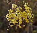 Cassia fistula (Amaltas) in Hyderabad W2 IMG 7501.jpg