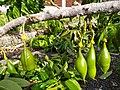 Castanospermum australe immature fruit 2.jpg