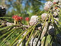 Casuarina equisetifolia - Cabanas de Tavira Portugal 02.JPG