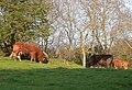 Cattle grazing, Mynydd Llandegai - geograph.org.uk - 810377.jpg