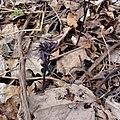Caulophyllum giganteum SCA-01038.jpg