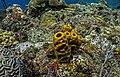 Cayemites corales.jpg