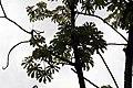 Cecropia obtusifolia 19zz.jpg