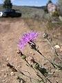 Centaurea maculosa-8-27-04.jpg