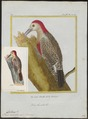 Centurus radiolatus - 1700-1880 - Print - Iconographia Zoologica - Special Collections University of Amsterdam - UBA01 IZ18700369.tif