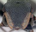 Cephalotes bruchi casent0173668 head 1.jpg