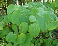Cercidiphyllum japonicum Parc floral.JPG