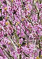 Cercis siliquastrum - Judas-tree 05.jpg