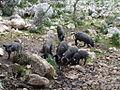 Cerdos MINIdsc01205.jpg