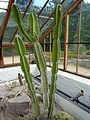 Cereus validus (Cactaceae).JPG