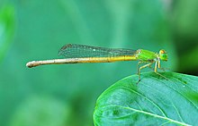 Ceriagrion coromandelianum, Burdwan, West Bengal, India 23 09 2012 (1).JPG