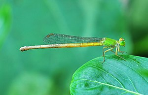 Ceriagrion coromandelianum каска