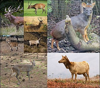 Deer A family of mammals belonging to even-toed ungulates