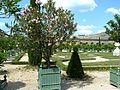 Château de Versailles orangerie laurier rose et parterre.jpg