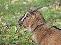 Chèvre naine - Sérent 2.jpg
