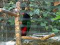 Charmosyna papou -Loro Parque -Spain-6c.jpg