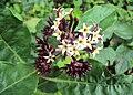 Chassalia curviflora3.jpg