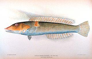 Cigar wrasse species of fish