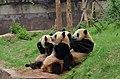 Chengdu - chovná stanice pandy velké - panoramio (1).jpg