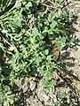Chenopodium vulvaria sl61.jpg