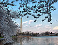 Cherry-blossoms-washington-monument1 - Virginia - ForestWander.jpg