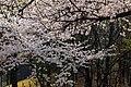 Cherry Blossom in Yeouido Park - panoramio (1).jpg