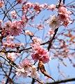Cherry blossom, Belmont Park - geograph.org.uk - 614333.jpg