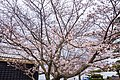 Cherry blossoms at Matsuyama Castle, Ehime Prefecture; April 2017 (19).jpg