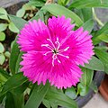 China Pink Flower.jpg